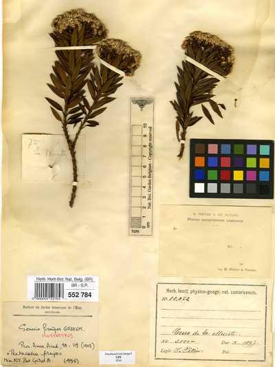 Pentacalia firmipes (Greenm.) Cuatrec.