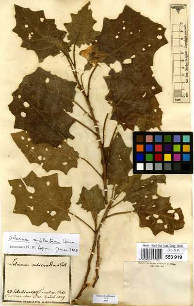 Solanum sublentum Hiern