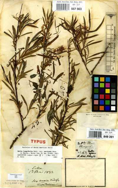 Salix longifolia Muhl. var. sericans Nees