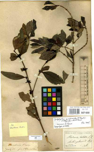 Cyclophyllum coprosmoides (F.Muell.) S.T.Reynolds & R.J.F.Hend.