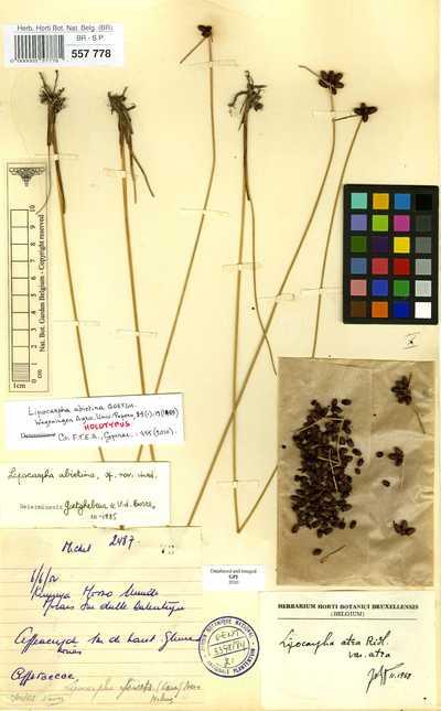 Lipocarpha abietina Goetgh.