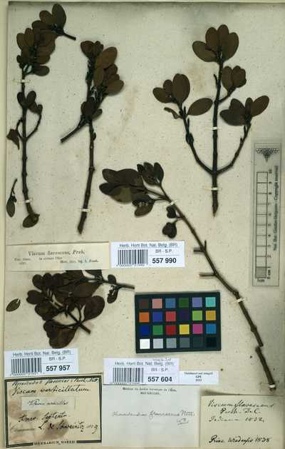 Phoradendron serotinum (Raf.) M.C.Johnst. var. serotinum