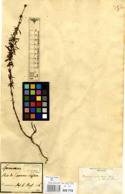 Spermacoce verticillata L.