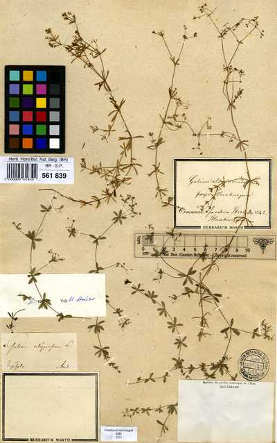 Galium uliginosum L.
