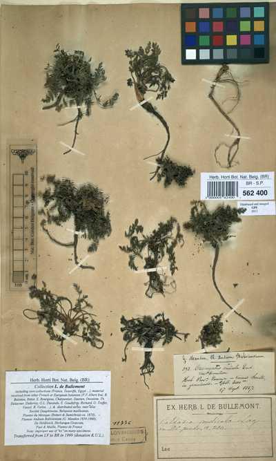 Oreomyrrhis andicola (Kunth) Endl. ex Hook.f.