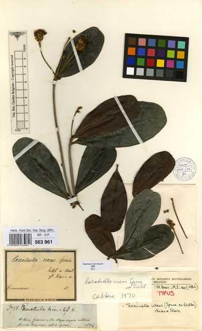 Terminalia virens (Spruce ex Eichler) Alwan & Stace