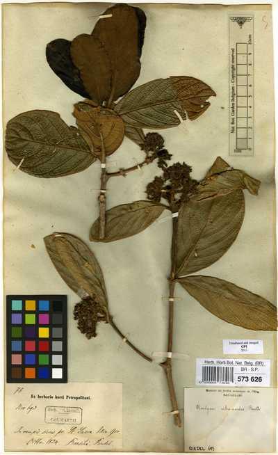 Rudgea viburnoides (Cham.) Benth. subsp. viburnoides