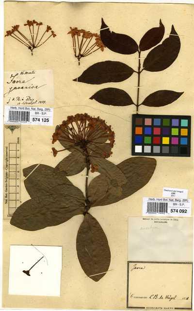 Ixora javanica (Blume) DC.
