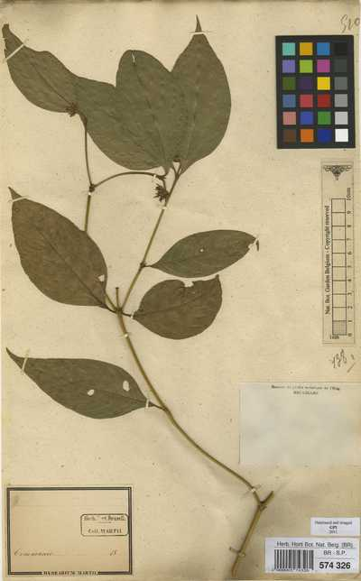 Psychotria hoffmannseggiana (Willd. ex Schult.) Müll.Arg.
