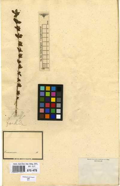 Serissa japonica (Thunb.) Thunb.