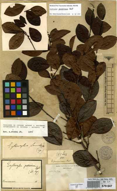 Erythroxylum passerinum Mart.