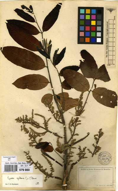 Guarea guidonia (L.) Sleumer