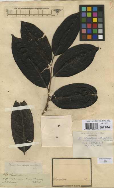 Schistostemon oblongifolium (Benth.) Cuatrec.