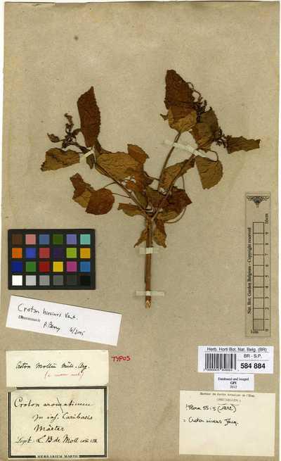 Croton niveus Jacq.