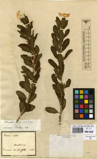 Catharanthus roseus (L.) G.Don