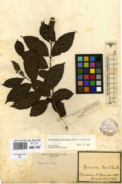 Forsteronia leptocarpa (Hook. & Arn.) A.DC.