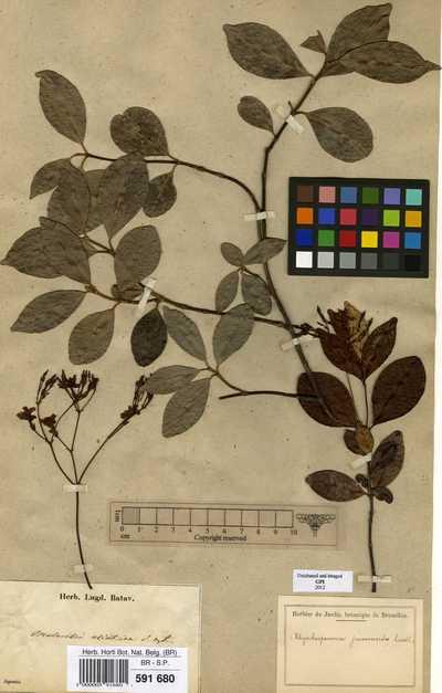 Trachelospermum asiaticum (Siebold & Zucc.) Nakai