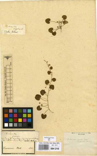 Dichondra microcalyx (Hallier f.) Fabris