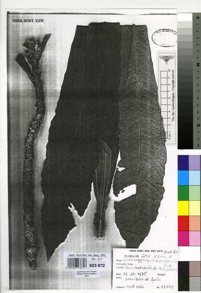 Crotonogynopsis akeassii J.Léonard