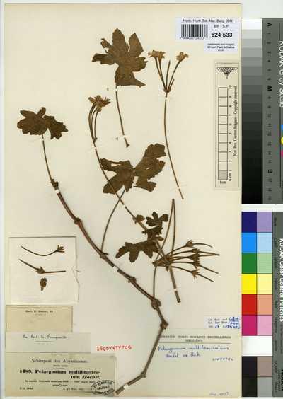 Pelargonium multibracteatum Hochst. ex A.Rich.