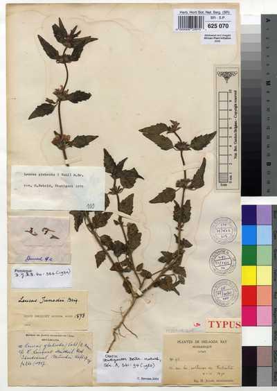 Leucas glabrata (Vahl) R.BR.