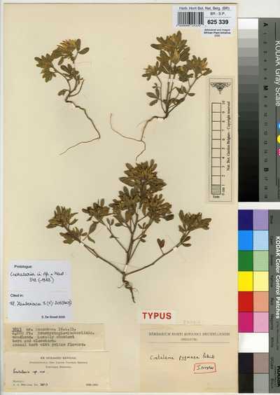 Crotalaria pygmaea Polhill