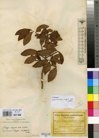 Pappea capensis Eckl. & Zeyh.