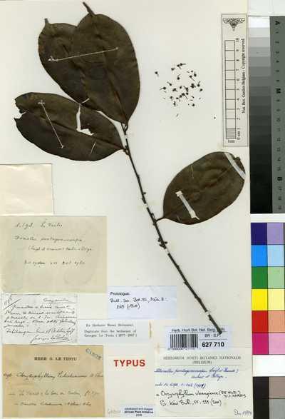 Chrysophyllum ubangiense (De Wild.) D.J.Harris