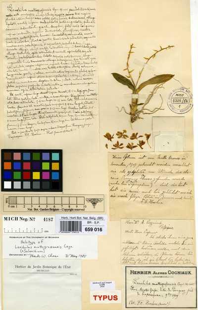 Solenidium lunatum (Lindl.) Kraenzl.