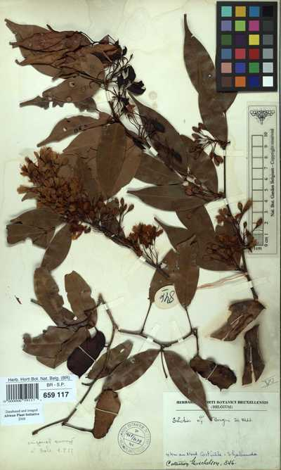 Normandiodendron bequaertii (De Wild.) J.Léonard
