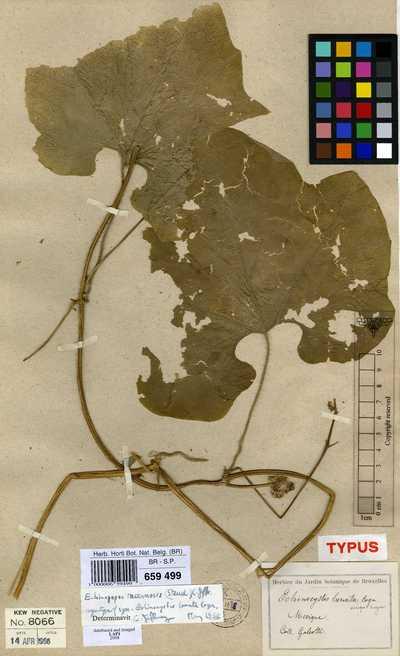 Echinopepon racemosus (Steud.) C.Jeffrey