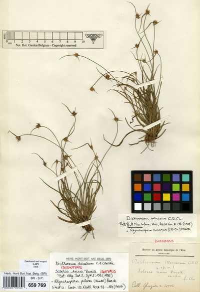 Rhynchospora pilosa (Kunth) Boeck.