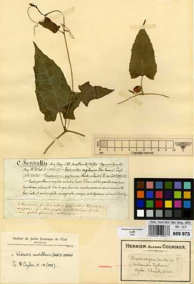 Kedrostis courtallensis (Arn.) C.Jeffrey