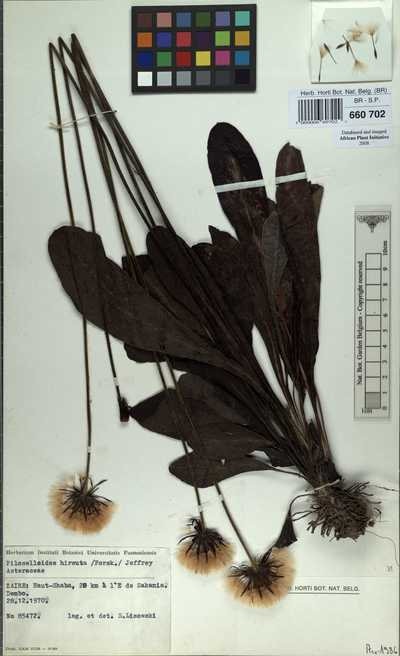 Gerbera piloselloides (L.) Cass.