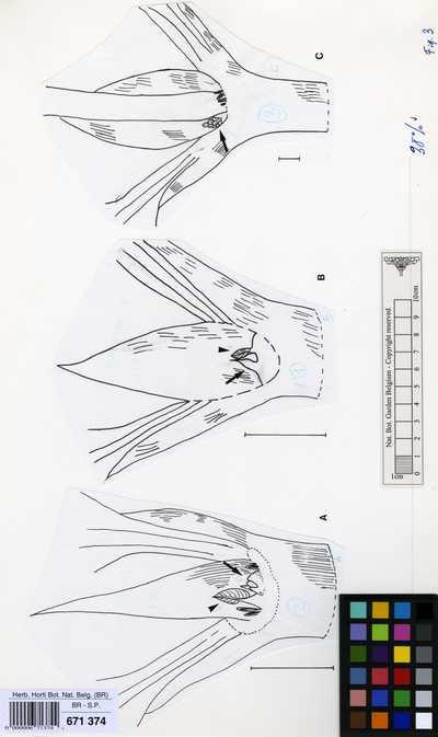 Oxyanthus formosus Hook.f.