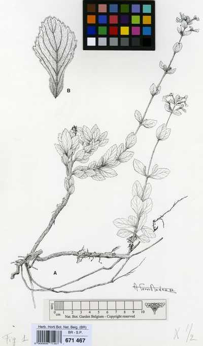 Otacanthus crenatus Ronse & Philcox