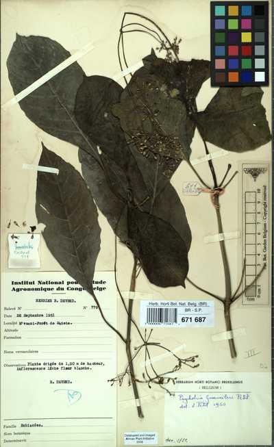 Psychotria gossweileri E.M.A.Petit