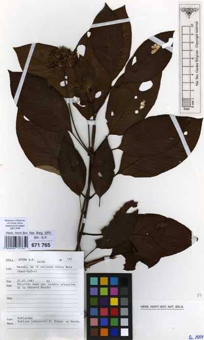 Sabicea johnstonii K.Schum. ex Wernham