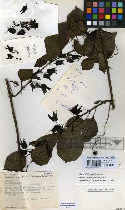 Adenia lobata (Jacq.) Engl.