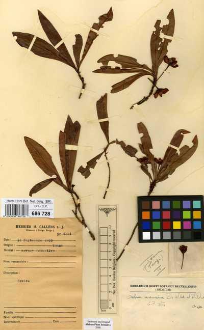 Brackenridgea arenaria (De Wild. & T.Durand) N.Robson