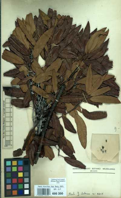 Morella salicifolia (Hochst. ex A.Rich.) Verdc. & Polhill subsp. salicifolia