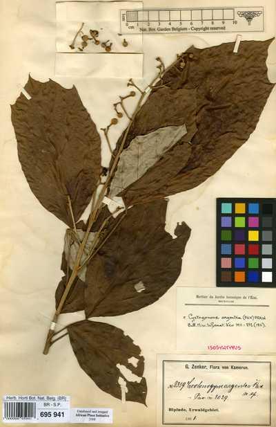 Cyrtogonone argentea (Pax) Prain