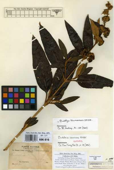 Buddleja tucumanensis Griseb.