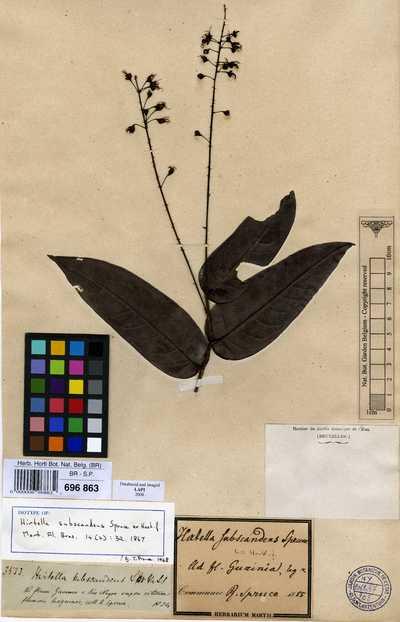 Hirtella subscandens Spruce ex Hook.f.