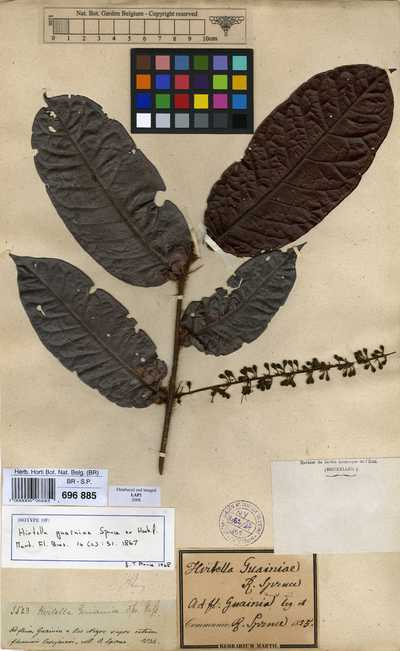 Hirtella guainiae Spruce ex Hook.f.
