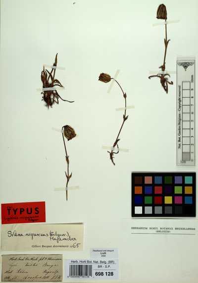 Silene nigrescens (Edgew.) Majumdar