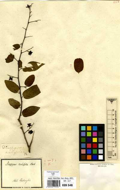 Diospyros cordifolia Roxb.