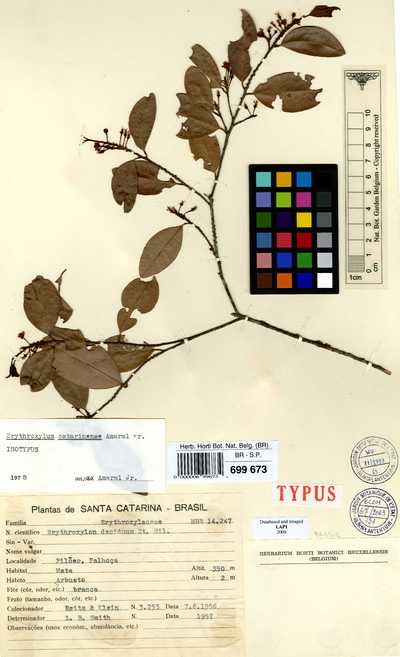 Erythroxylum catarinense Amaral