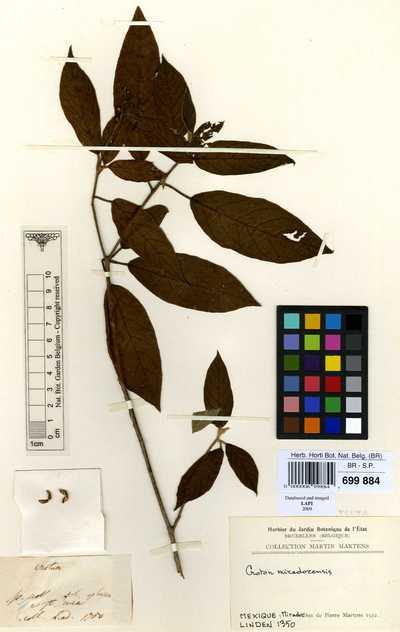 Croton miradorensis Boiss.