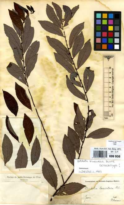 Bridelia tomentosa Blume